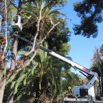 Nules realiza una poda preventiva en los árboles del Jardín Botánico